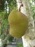 Árbol de Jackfruit fotos de archivo