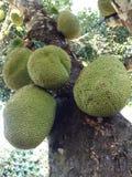 Árbol de Jackfruit Fotografía de archivo