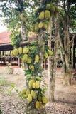 Árbol de Jackfruit con las frutas verdes contra casa de campo Fotografía de archivo libre de regalías