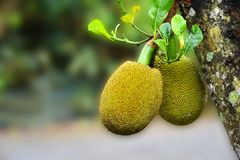Árbol de Jackfruit y Jackfruits jovenes con el espacio de la copia Fotos de archivo libres de regalías