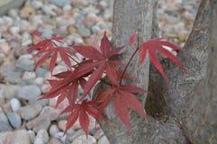 Árbol de Japonese Imagen de archivo