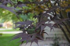 Árbol de Japonese Imagenes de archivo