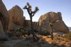 Árbol de Joshua 1 Foto de archivo libre de regalías