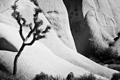 Árbol de Joshua Foto de archivo libre de regalías