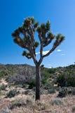Árbol de Joshua Fotos de archivo libres de regalías