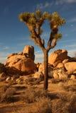 Árbol de Joshua 3 Fotografía de archivo libre de regalías