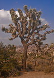 Árbol de Joshua Imagenes de archivo
