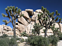 Árbol de Joshua contra rocas Imágenes de archivo libres de regalías