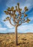 Árbol de Joshua en el desierto Fotos de archivo libres de regalías