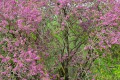 Árbol de Judas con las flores rosadas hermosas Imagen de archivo