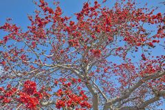 Árbol de Kapok en fondo de la plena floración foto de archivo