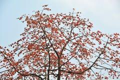 Árbol de Kapok grande imagenes de archivo