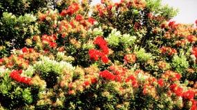 Árbol de Kiwi Christmas Fotografía de archivo libre de regalías