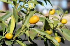 Árbol de kumquat Imagenes de archivo