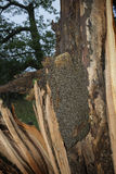 Árbol de la abeja - mellifera de los apis de las abejas que vive en árbol Imágenes de archivo libres de regalías