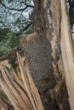 Árbol de la abeja - mellifera de los apis de las abejas que vive en árbol Imagen de archivo
