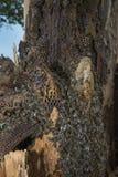 Árbol de la abeja - mellifera de los apis de las abejas que vive en árbol Foto de archivo