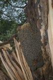 Árbol de la abeja - mellifera de los apis de las abejas que vive en árbol Imagen de archivo libre de regalías