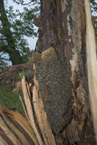 Árbol de la abeja - mellifera de los apis de las abejas que vive en árbol Foto de archivo libre de regalías