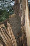 Árbol de la abeja - mellifera de los apis de las abejas Fotografía de archivo
