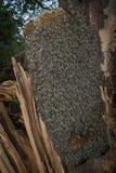 Árbol de la abeja - mellifera de los apis de las abejas Imágenes de archivo libres de regalías