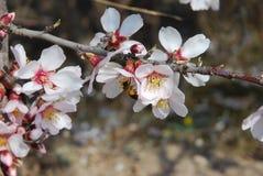 Árbol de la abeja y de almendra Imágenes de archivo libres de regalías