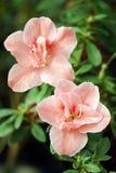 Árbol de la azalea Imágenes de archivo libres de regalías