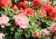 Árbol de la azalea Imagen de archivo