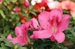 Árbol de la azalea Foto de archivo libre de regalías