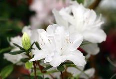 Árbol de la azalea Imagenes de archivo