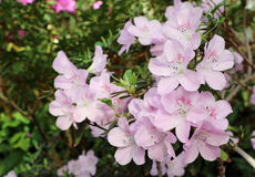 Árbol de la azalea Fotografía de archivo libre de regalías