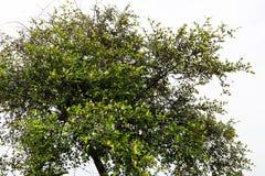 Árbol de la azufaifa con el fondo blanco fotografía de archivo libre de regalías