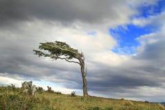 Árbol de la bandera en la Patagonia de la Argentina Fotografía de archivo libre de regalías
