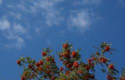 Árbol de la baya de serbal Fotografía de archivo
