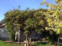 Árbol de la baya del saúco Fotografía de archivo