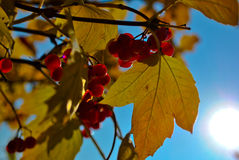 Árbol de la bola de nieve en otoño Foto de archivo libre de regalías