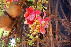Árbol de la bola del annon del ¡de Ð Flores y frutas Fotografía de archivo