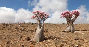 Árbol de la botella en la floración fotos de archivo libres de regalías