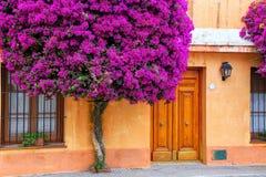 Árbol de la buganvilla que crece por la casa en el cuarto histórico de C Fotografía de archivo libre de regalías