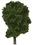 Árbol de la cabeza humana, naturaleza, aislada Fotos de archivo libres de regalías