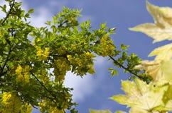 Árbol de la cadena de oro, codeso contra el cielo azul Londres Inglaterra EUR Fotos de archivo