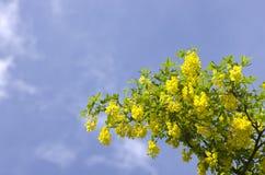 Árbol de la cadena de oro, codeso contra el cielo azul Londres Inglaterra EUR Imagen de archivo