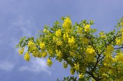 Árbol de la cadena de oro, codeso contra el cielo azul Londres Inglaterra EUR Fotos de archivo libres de regalías