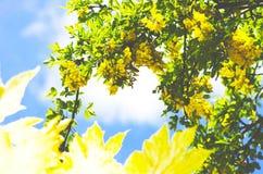 Árbol de la cadena de oro, codeso contra el cielo azul Londres Inglaterra EUR Imágenes de archivo libres de regalías