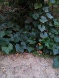 Árbol de la calabaza Fotografía de archivo