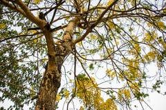 Árbol de la casia Fotografía de archivo