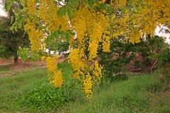 árbol de la casia o árbol de ducha de oro Imagen de archivo libre de regalías