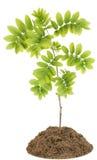 Árbol de la ceniza de montaña pequeño (serbal) Fotografía de archivo