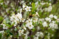 Árbol de la cereza blanca floreciente imagen de archivo