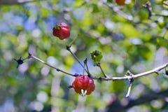 Árbol de la cereza o del pitanga de Suriname con las frutas Fotos de archivo libres de regalías
